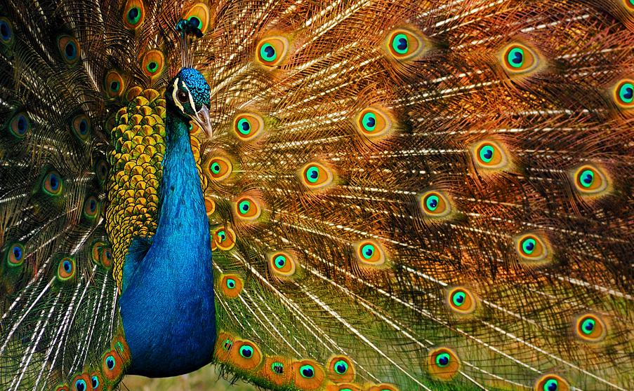 Holistic Photography Beautiful photo of a peacock